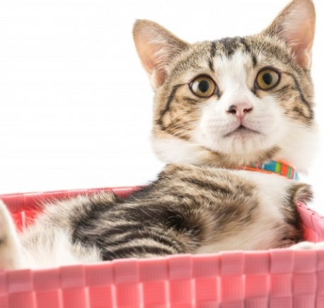 https://quarryhouse-vets.co.uk/wp-content/uploads/2017/04/cat-in-basket_1339-805-458x436.jpg
